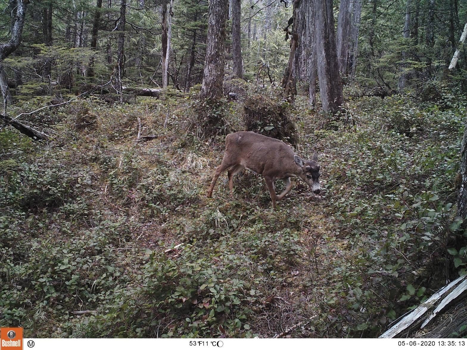 Buck starting to grow new antlers