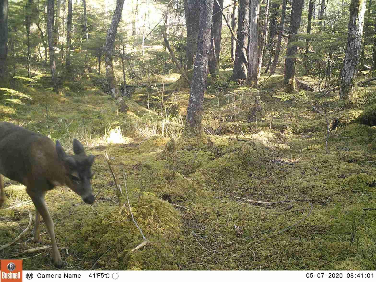 Buck growing new antlers