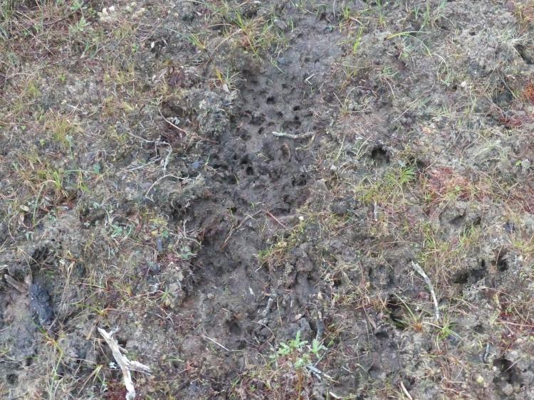 Fawn tracks